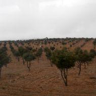 Plantações Trufeiras Adultas