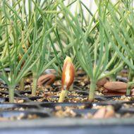 Plantas de origem controlada