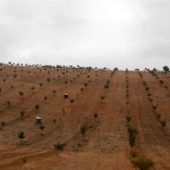 Plantações Trufeiras Jovens